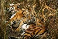 Тигровая королева Тару